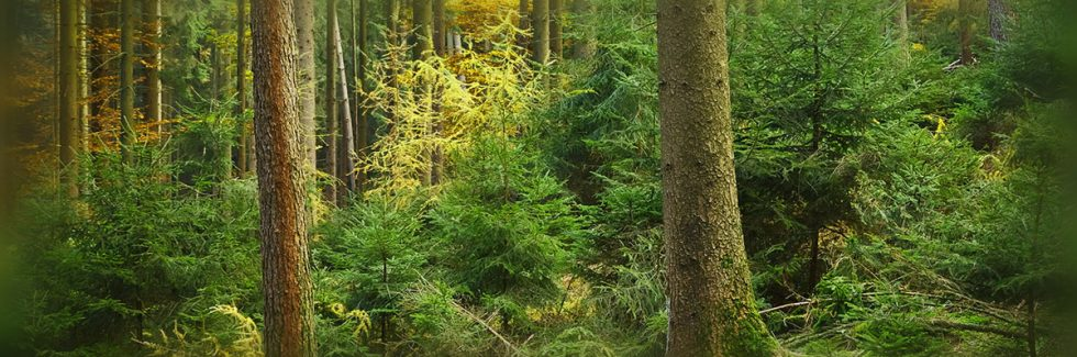 Some Interesting Facts About Our Timber of Choice for Summerhouses – The Nordic Spruce